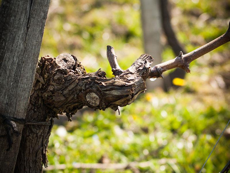 Pleurs de la vigne au printemps