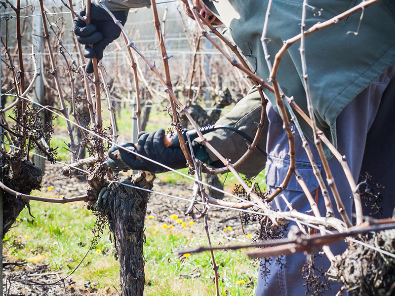 La taille de la vigne s'effectue de décembre à mars